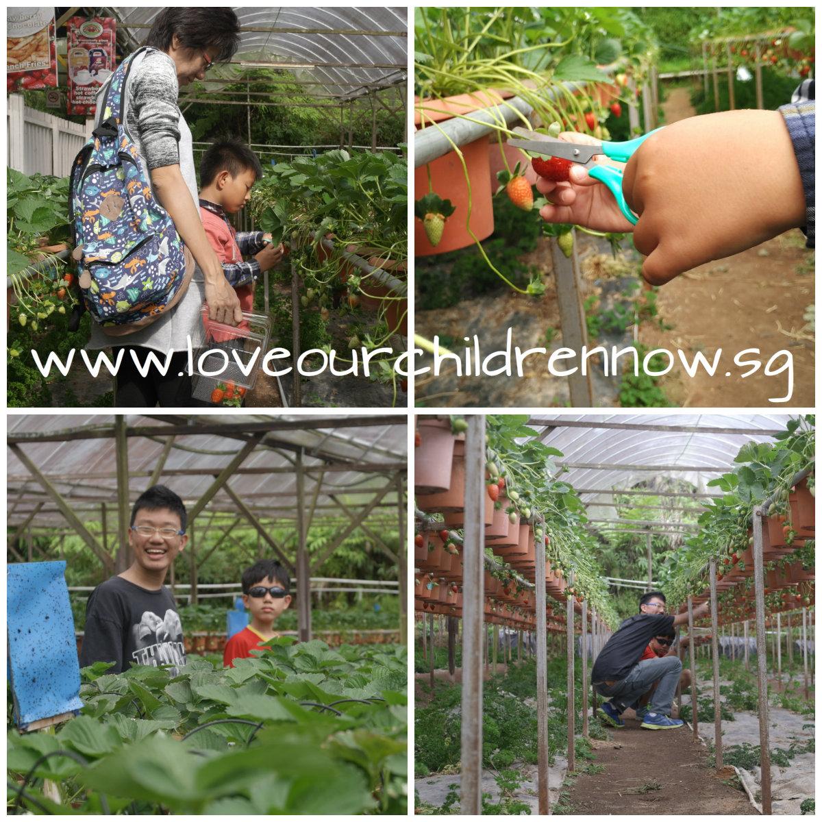 strawberry-farm-picking-strawberry